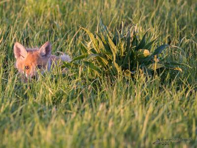 Лисёнок лисёнок фауна рязанской области фотоохота