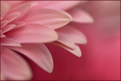 pinky pink гербера, розовый, цветы