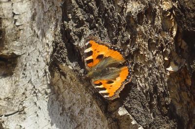 Крапивница крапивница бабочка весна берёза лес