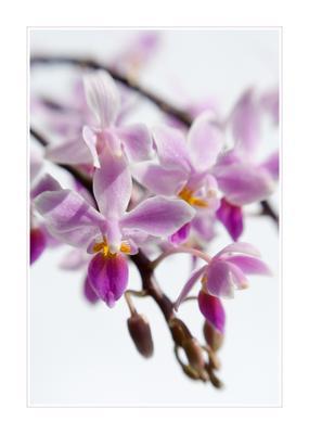 *** фаленопсис орхидея цветок