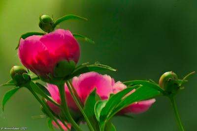Пион природа лето цветы пионы