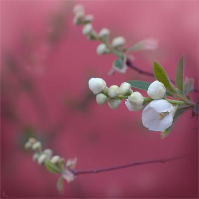 Кисельный розовый, макро, кисель