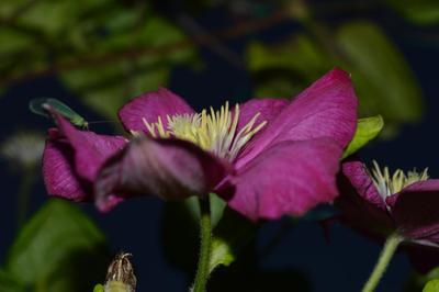 Я тут немного посижу цветок природа букашка бардовый клематис макро лепестки