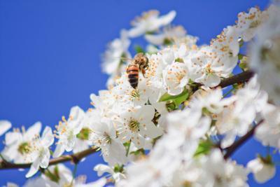 Запах весны весна цветы вишня пчела макро небо белый синий голубой мед запах солнце счастье sun light macro sky blue white nature flower cherry bee honey spring
