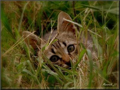 котёнок Тигра  котонек маленький,  а ловит крыс! Котопортрет
