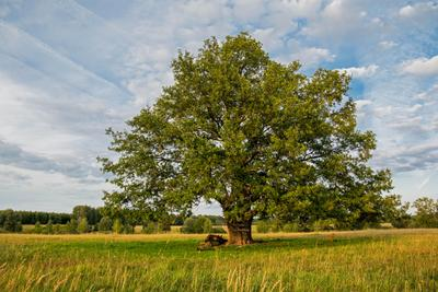 *** природа пейзаж татарстан красницкий дерево дуб