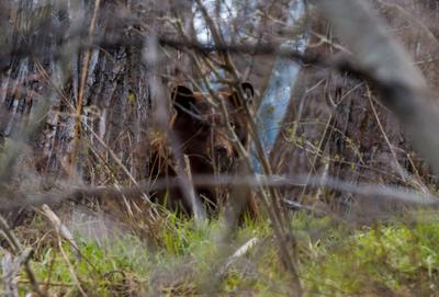 Игра в прятки медведь Waterton Alberta