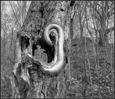 Лесное ухо. дерево дупло деревья кусты март Trīsciems Rīga 27.03.2021 09 59