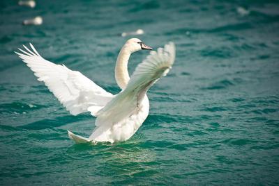 *** Лебедь, море