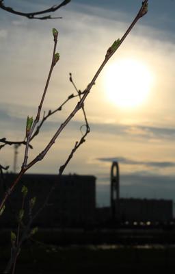Утро веточка тянется к солнцу просыпается от зимнего сна дерево береза солнце весна утро природа в городе