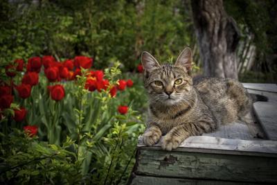 Отдых в весеннем саду кошки животные сад весна тюльпаны портрет