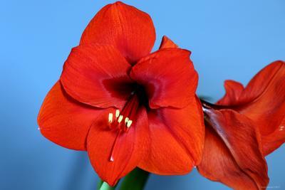 Amaryllis  цветы амариллис