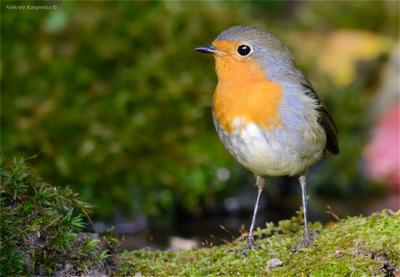 *** wildlife птица зарянка малиновка водопой фотоохота