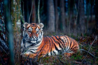 Уссурийский тигренок тигр Уссурийский сибирский амурский