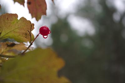 Оставлено для птиц... калина ягода