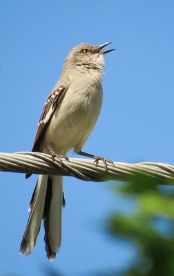 Многоголосый или североамериканский певчий пересмешник североамериканский певчий многоголосый пересмешник птица polyglottos northern mockingbird bird mimidae