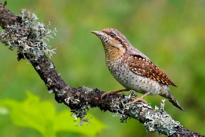 Королева комуфляжа  ... природа птица вертишейка Jynx torquilla
