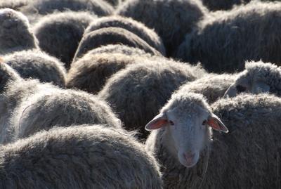 один из многих овцы баран стадо