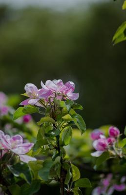*** цветы цветение природа весна яблоня