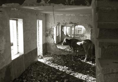 коровья философия заброшенное развалины руины корова сепия
