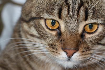 Мерзик Кот животное питомец усатый полосатый макро глаза усы шерсть