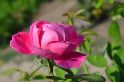 Дикая роза цветы розы