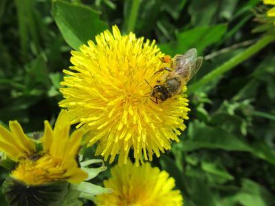 Пришла весна - одуванчико-пчелинная! природа весна лес флора фауна цветы
