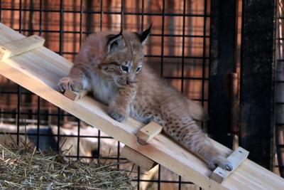 В Челябинском зоопарке пополнение.. Кошки. рысенок