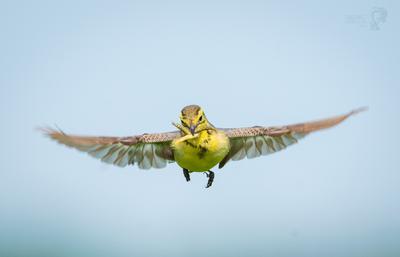 Желтоголовая трясогузка птицы трясогузка