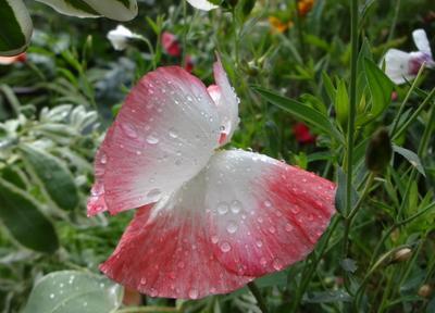 Сияет хрупкость лепестков... природа цветы мак