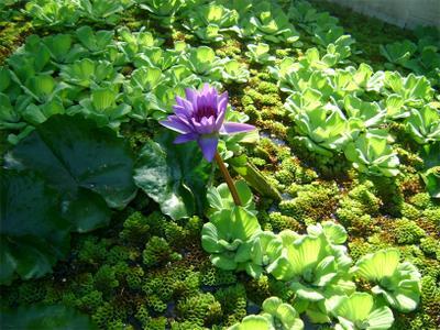 лягушачий рай лилия, болото, цветок,
