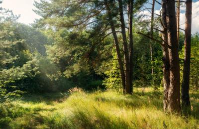 Где ты, лето?! лес лето сосна солнце тропинка