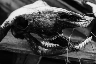 Череп череп животное