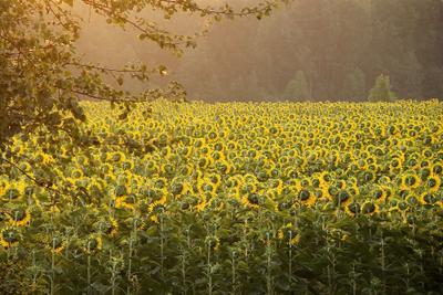 Очередь за солнцем Подсолнухи солнце утро