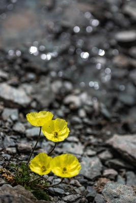 Желтые маки Алтая. горы алтай горный пейзаж природа россия ник васильев красота блики вода цветы желтые полярные маки