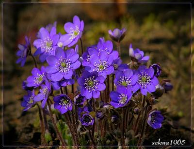 *** природа флора цветы печеночница