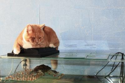 Охранник Шотландские кошки кот домашние животные