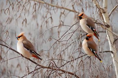 """Стиляги"" свиристели птички птицы дикие птици стиляги короче"