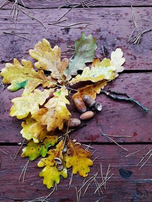 Осень осень природа лес дуб