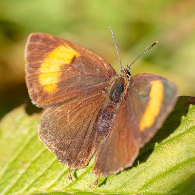Бабочка хвостатка берёзовая насекомое макро бабочка лето