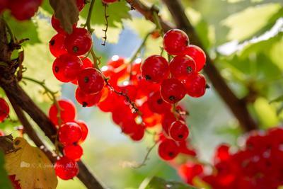 Красная смородине на кусте ягоды смородина
