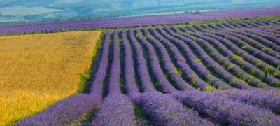 Крымский прованс Крымский прованс Крым Бахчисарай лаванда лето цветы панорама пшеница