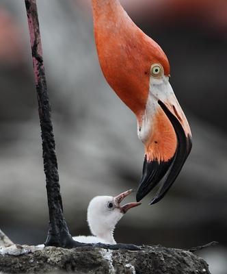 *** Куба, фламинго, Камагуэй