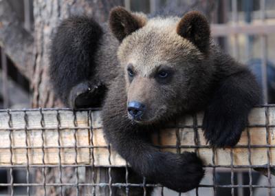 хочешь драки? медведи