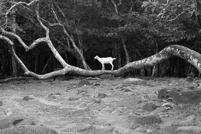 в горах на дереве коза стояла...