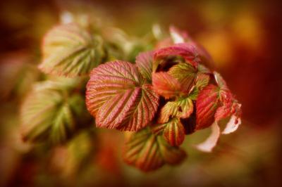 Малина листья цвет малина