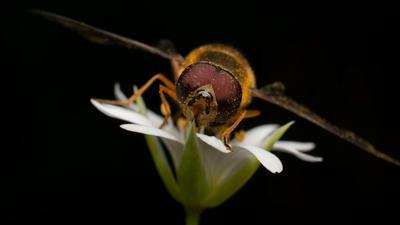 Муха- журчалка Муха природа насекомые