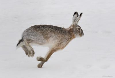Со всех ног зверофото заяц снег зима