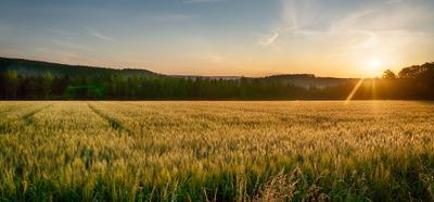 Утро на ячменном поле поле утро солнце ячмень пейзаж