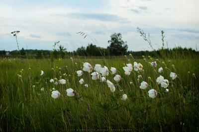 Белые маки Цветы маки вечер природа поле растения